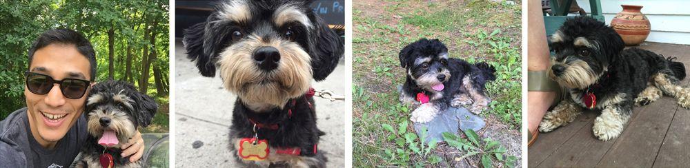 Sidney havanese dog pics.