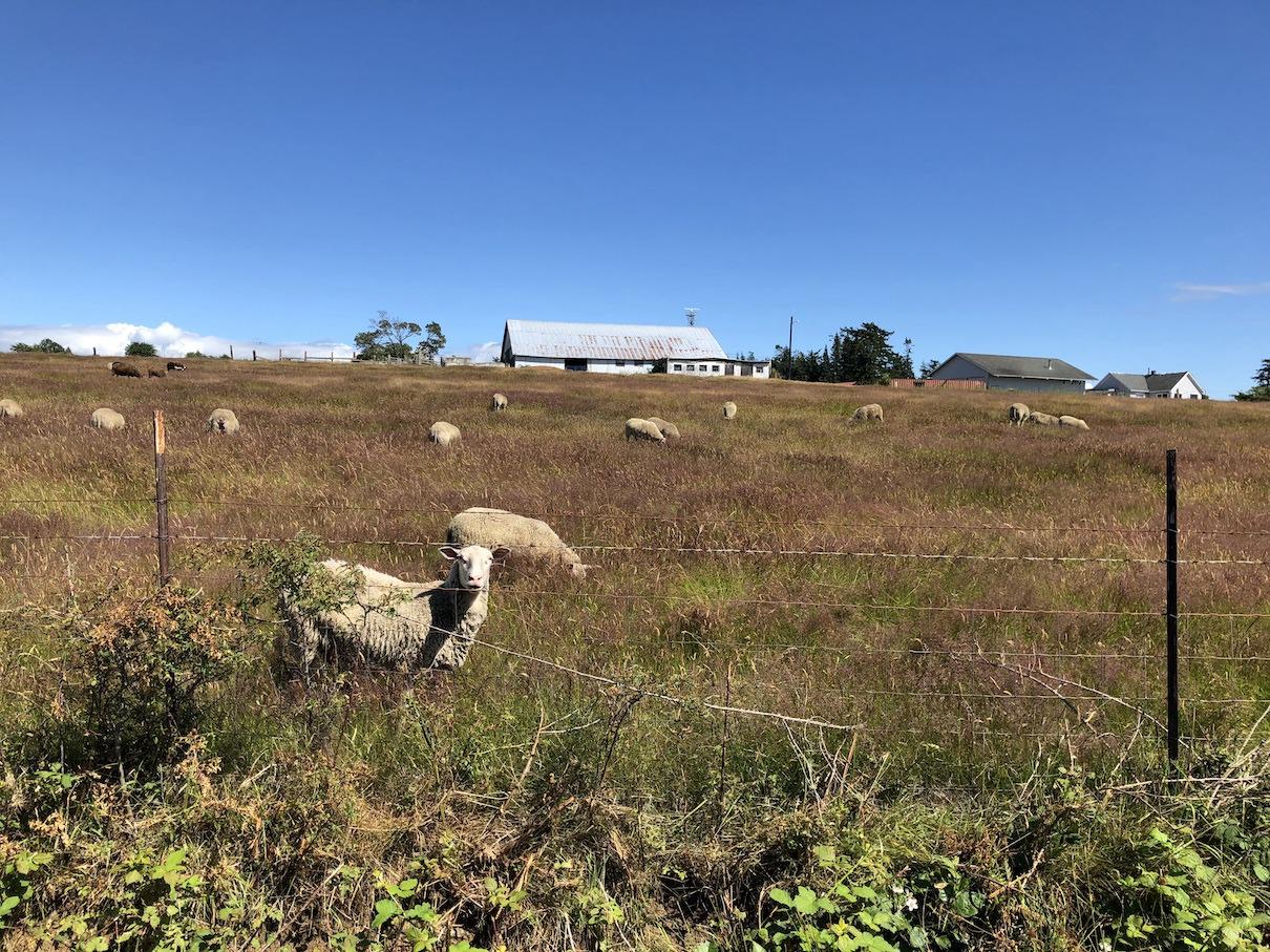 Lummi Island Sheep Farm