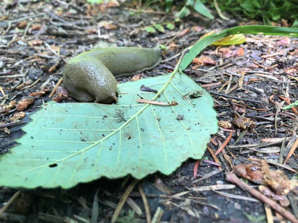 Banana slug on Lummi Island