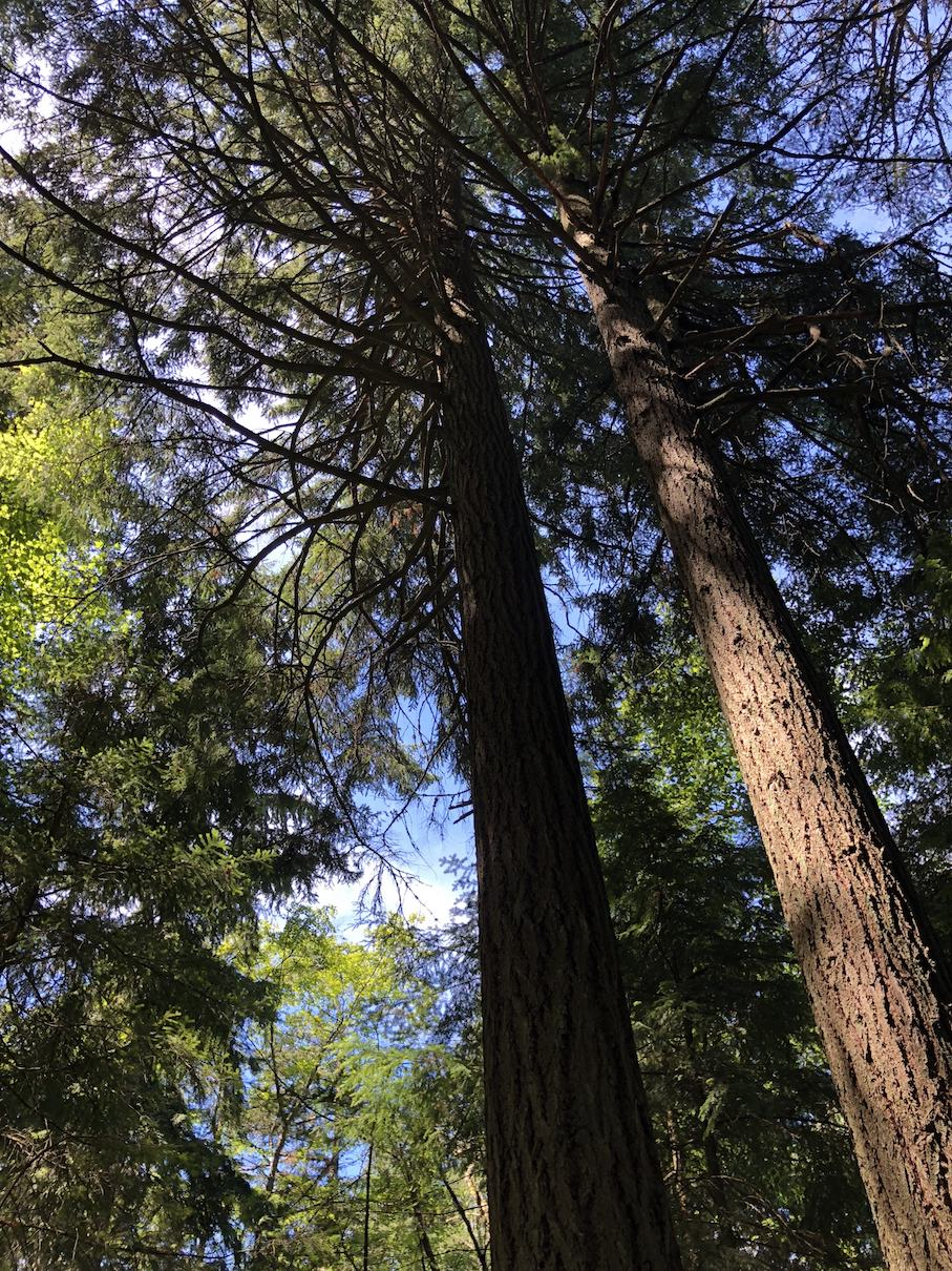 Tall trees on Lummi Island
